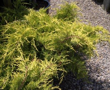 juniperus-chinensis-old-gold-05.jpg