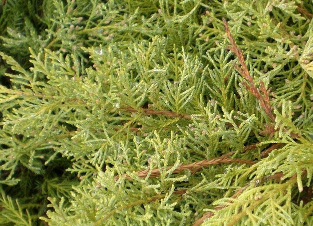 juniperus-chinensis-old-gold-06.jpg