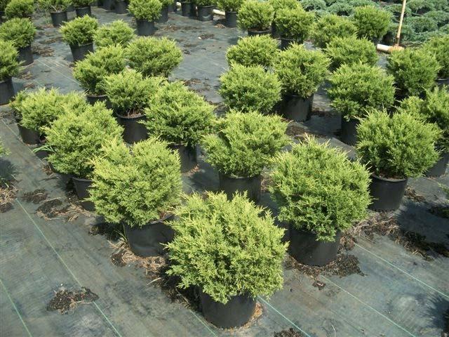 juniperus-chinensis-old-gold-07.jpg