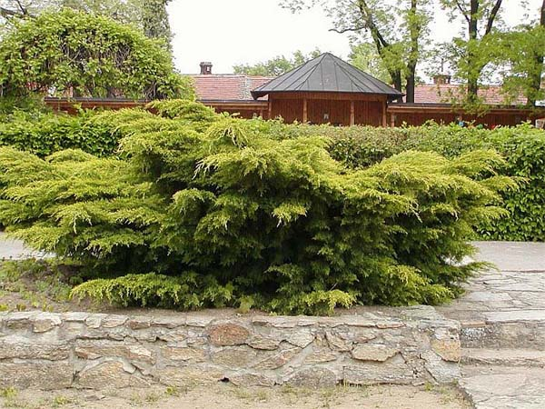 juniperus-chinensis-pfitzeriana-aurea-01.jpg