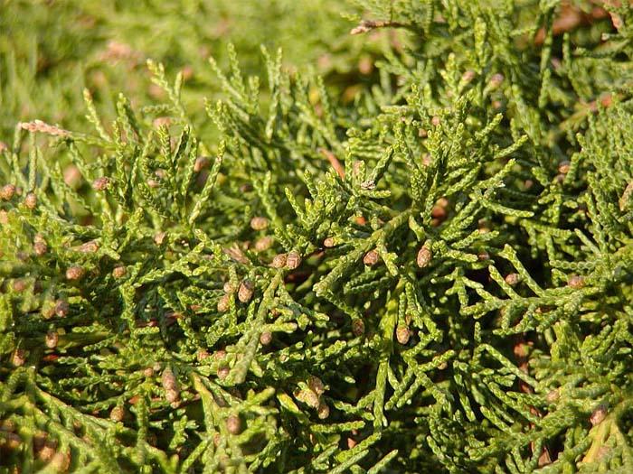 juniperus-chinensis-pfitzeriana-aurea-02.jpg