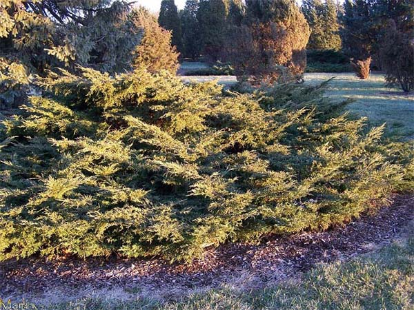 juniperus-chinensis-pfitzeriana-aurea-03.jpg