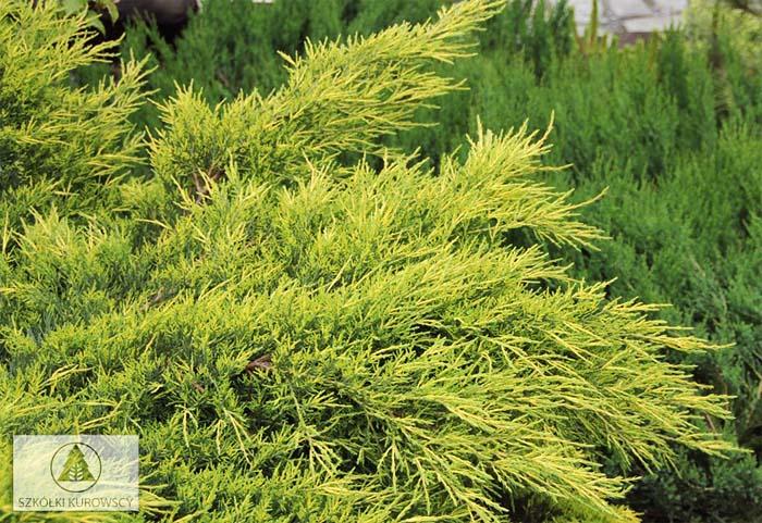 juniperus-chinensis-pfitzeriana-aurea-04.jpg