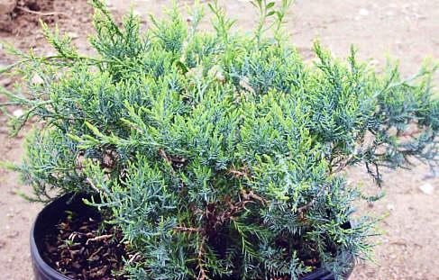 juniperus-chinensis-pfitzeriana-compacta-03.jpg