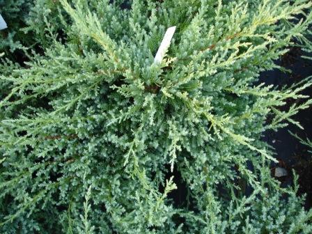 juniperus-chinensis-pfitzeriana-compacta-04.jpg