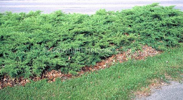 juniperus-chinensis-pfitzeriana-compacta-05.jpg
