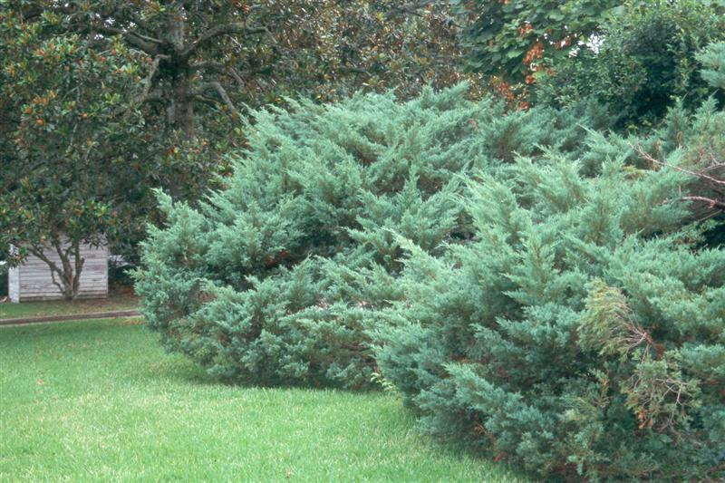 juniperus-chinensis-pfitzeriana-01.jpg