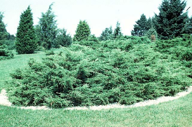 juniperus-chinensis-pfitzeriana-02.jpg