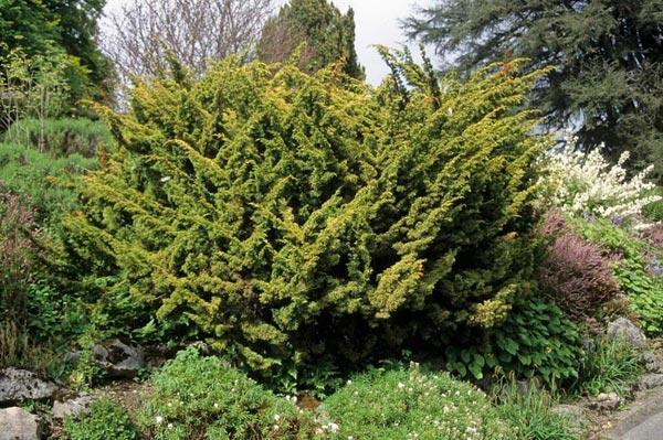 juniperus-chinensis-plumosa-aurea-01.jpg