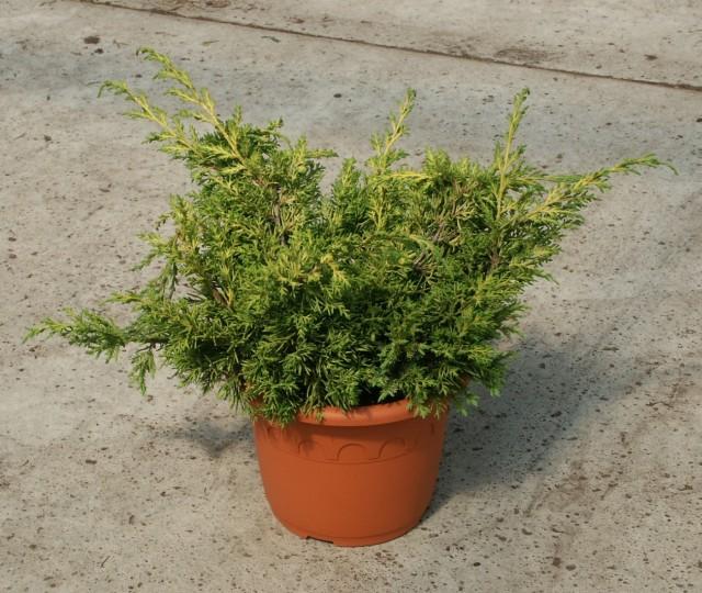 juniperus-chinensis-plumosa-aurea-02.jpg