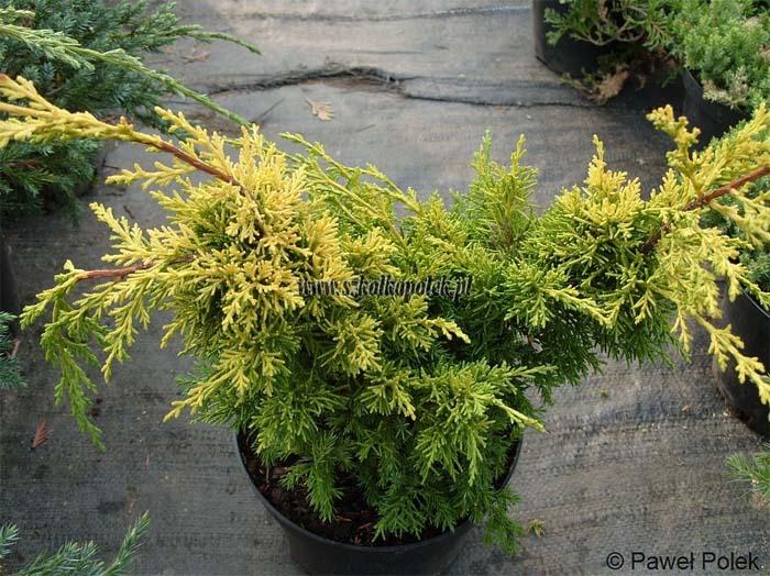 juniperus-chinensis-plumosa-aurea-04.jpg