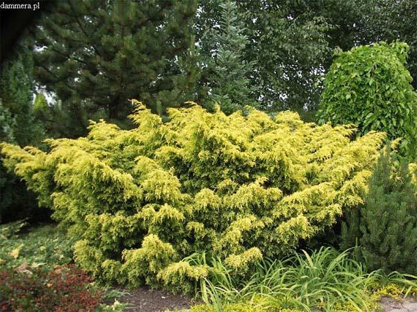 juniperus-chinensis-plumosa-aurea-07.jpg