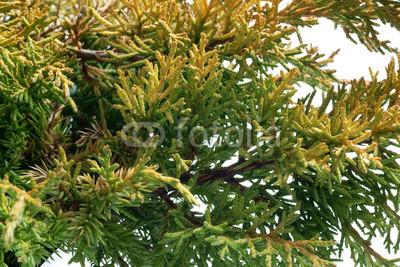 juniperus-chinensis-plumosa-aurea-08.jpg