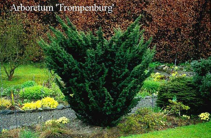 juniperus-chinensis-blaauw-01.jpg