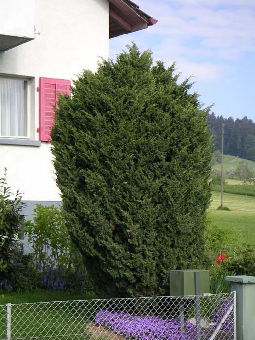 juniperus-chinensis-blaauw-02.jpg
