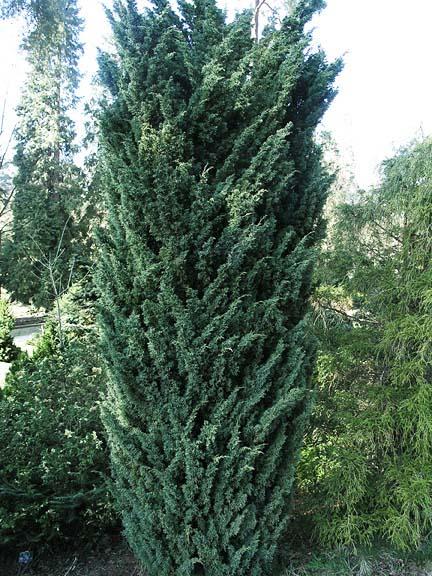 juniperus-chinensis-blaauw-03.jpg