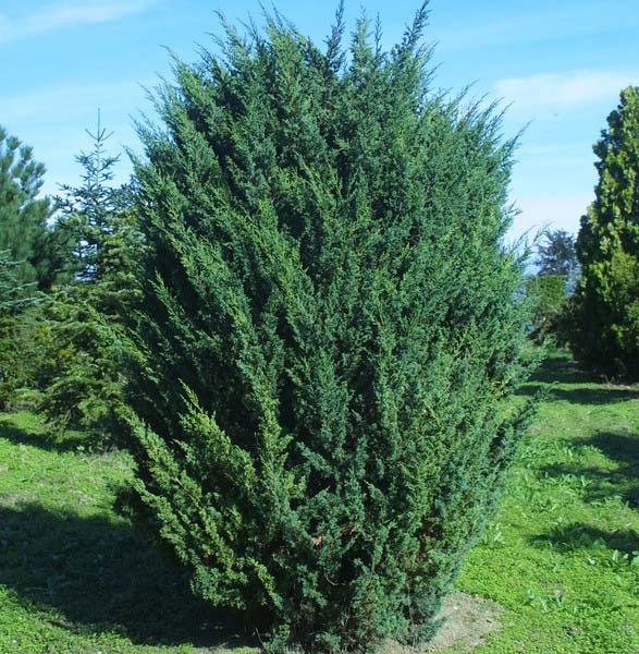 juniperus-chinensis-blaauw-05.jpg