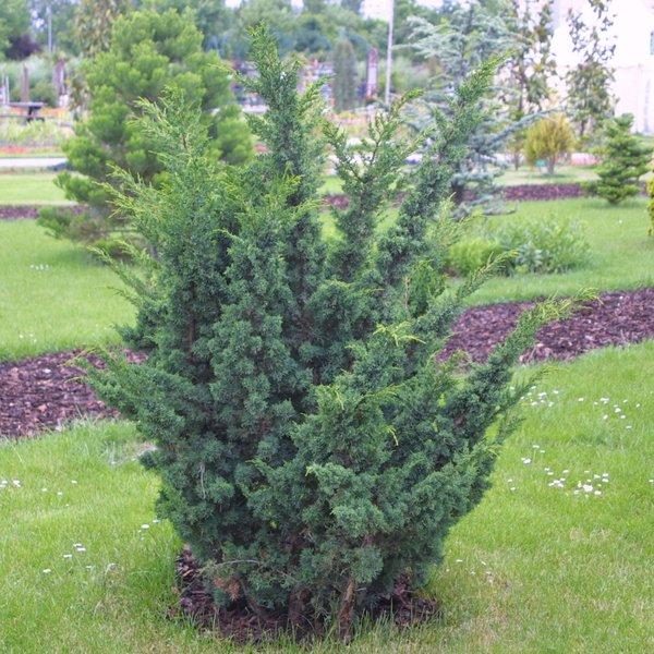 juniperus-chinensis-blaauw-06.jpg