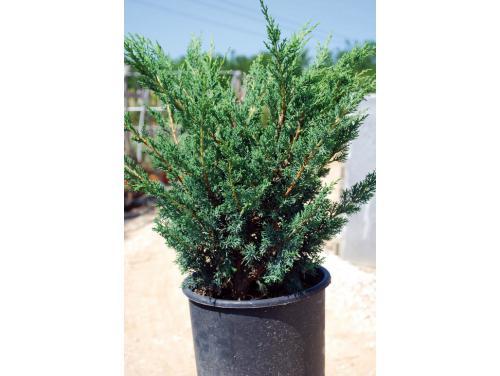 juniperus-chinensis-blaauw-07.jpg