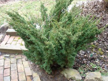 juniperus-chinensis-blaauw-08.jpg