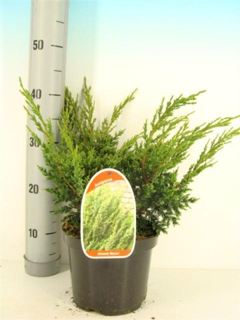 juniperus-chinensis-blaauw-09.jpg