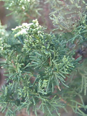 juniperus-chinensis-blaauw-11.jpg