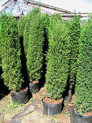 juniperus-communis-hibernica-03.jpg