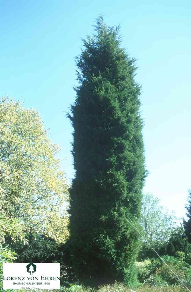 juniperus-communis-hibernica-05.jpg