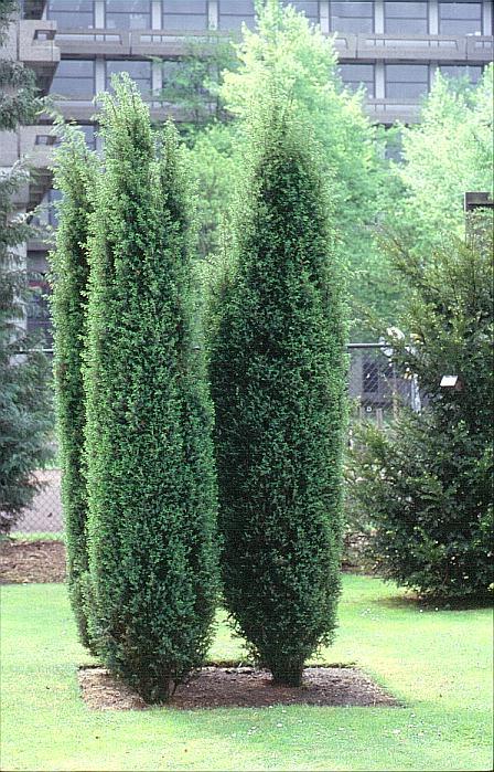 juniperus-communis-hibernica-06.jpg