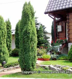 juniperus-communis-hibernica-07.jpg