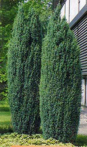 juniperus-communis-hibernica-08.jpg