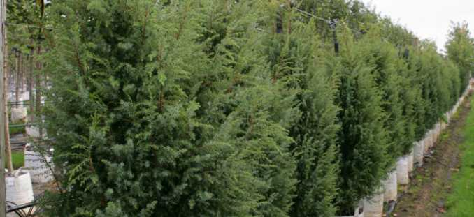 juniperus-communis-hibernica-09.jpg