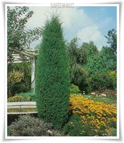 juniperus-communis-hibernica-10.jpg