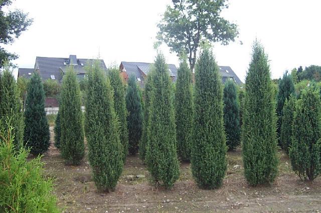 juniperus-communis-hibernica-12.jpg
