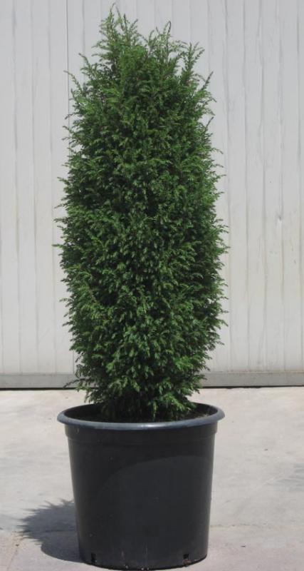juniperus-communis-hibernica-13.jpg
