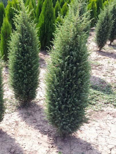 juniperus-communis-hibernica-14.jpg