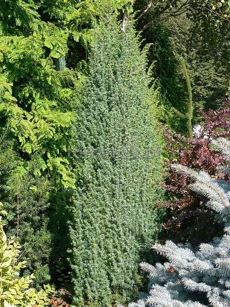juniperus-communis-meyer-01.jpg