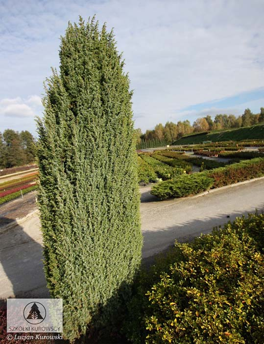 juniperus-communis-meyer-06.jpg