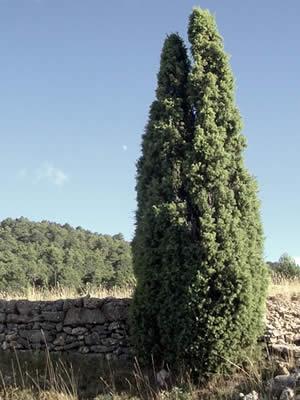 juniperus-communis-01.jpg