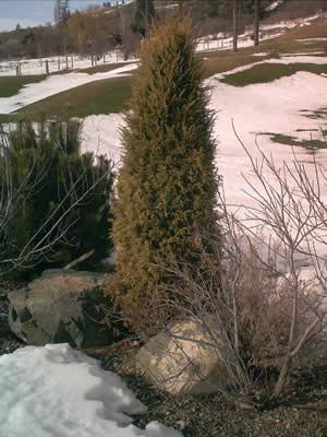 juniperus-communis-02.jpg
