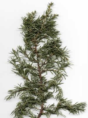 juniperus-communis-03.jpg