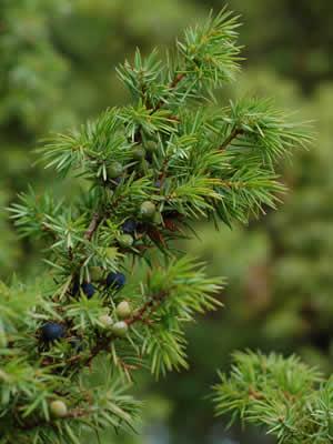 juniperus-communis-04.jpg