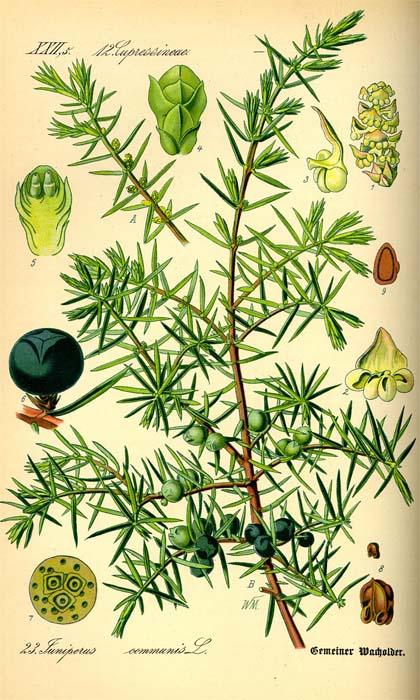 juniperus-communis-05.jpg