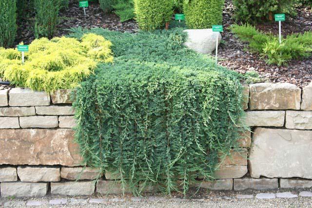 juniperus-horizontalis-glauca-01.jpg