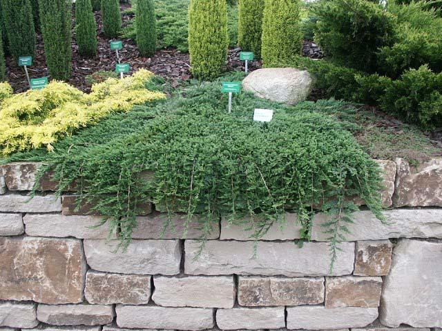 juniperus-horizontalis-glauca-02.jpg