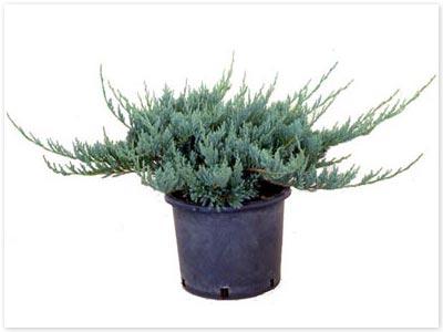 juniperus-horizontalis-glauca-03.jpg