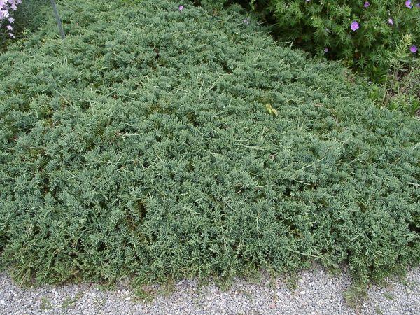 juniperus-horizontalis-glauca-04.jpg