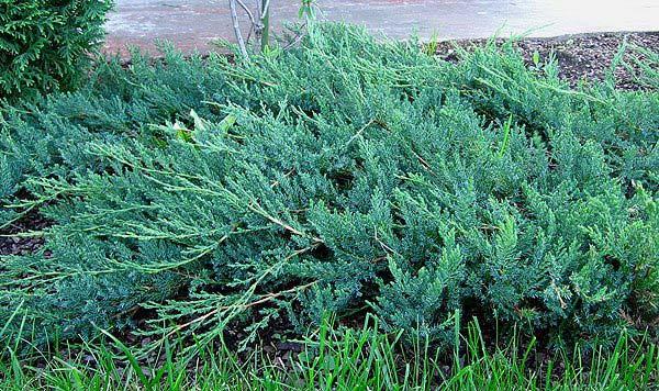 juniperus-horizontalis-glauca-05.jpg