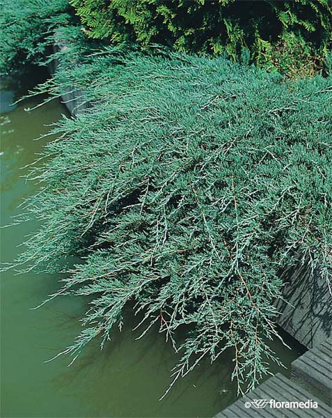 juniperus-horizontalis-glauca-06.jpg