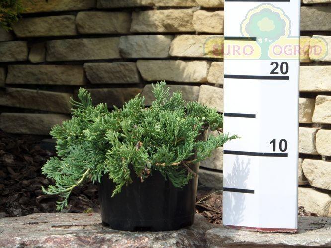 juniperus-horizontalis-glauca-07.jpg